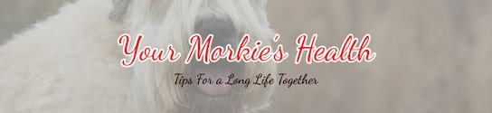 Your Healthy Morkie